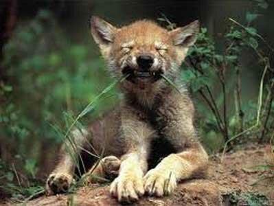 волк ест траву