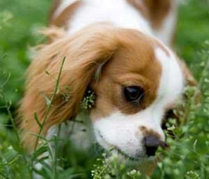 собака ест растения